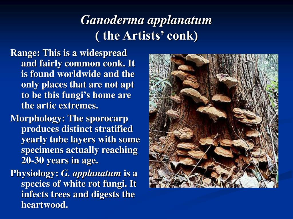 Ganoderma applanatum