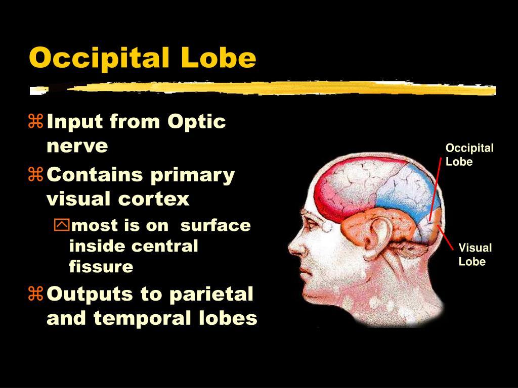 Occipital Lobe