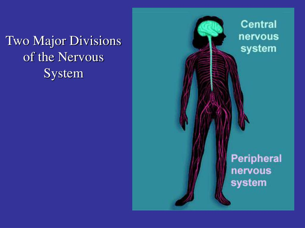 Two Major Divisions of the Nervous System
