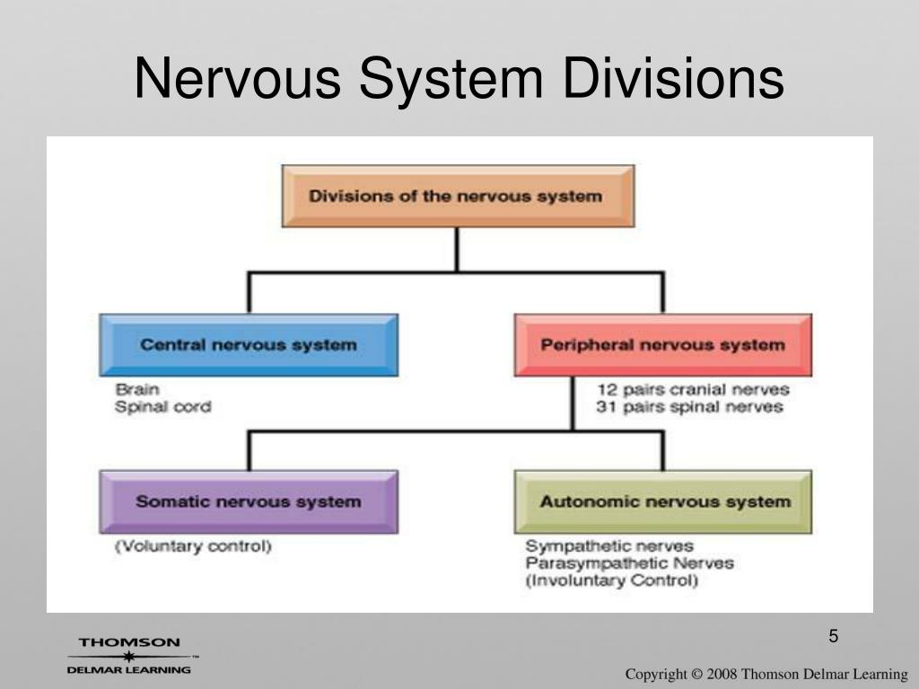 Nervous System Divisions