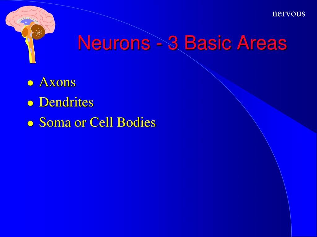 Neurons - 3 Basic Areas