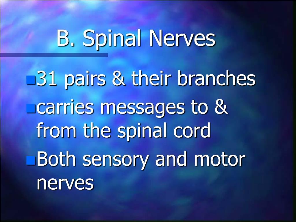 B. Spinal Nerves