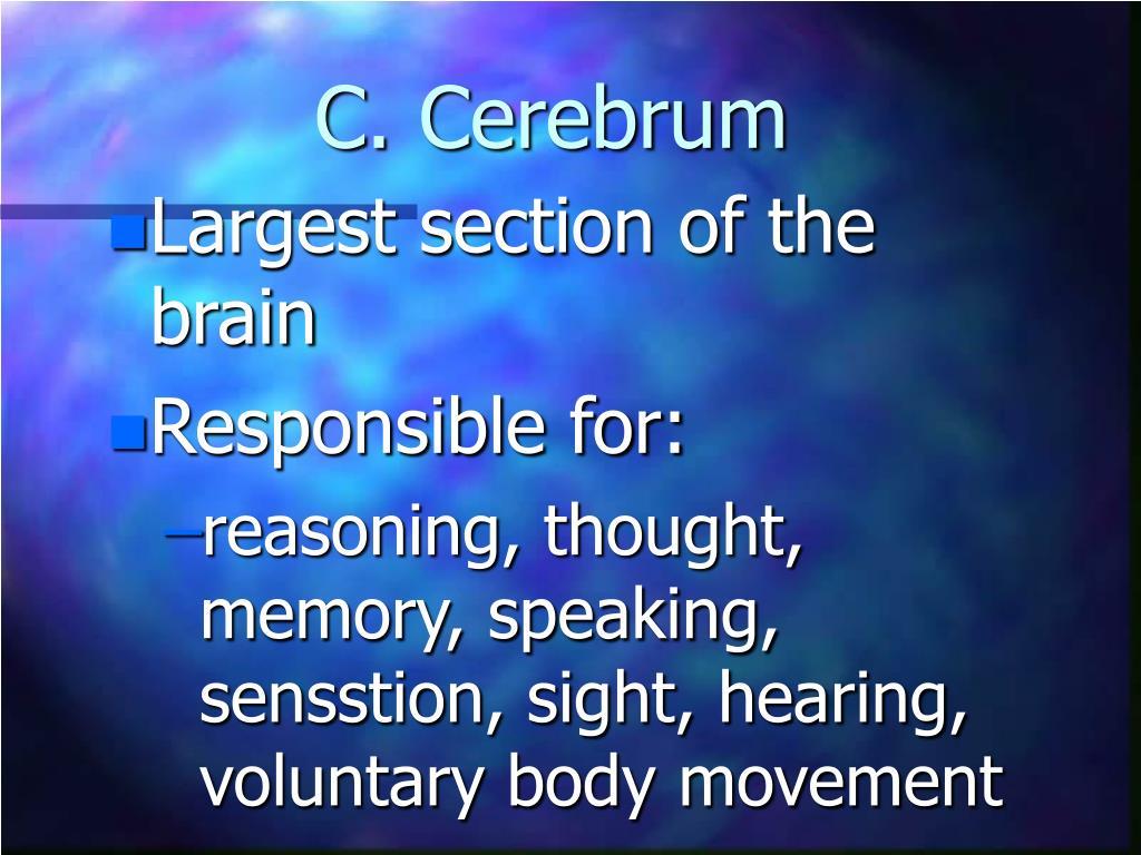 C. Cerebrum