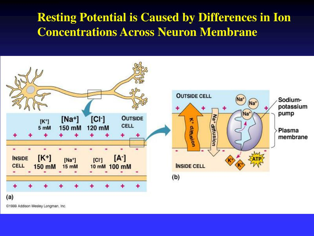 Resting Potential is Caused by Differences in Ion Concentrations Across Neuron Membrane