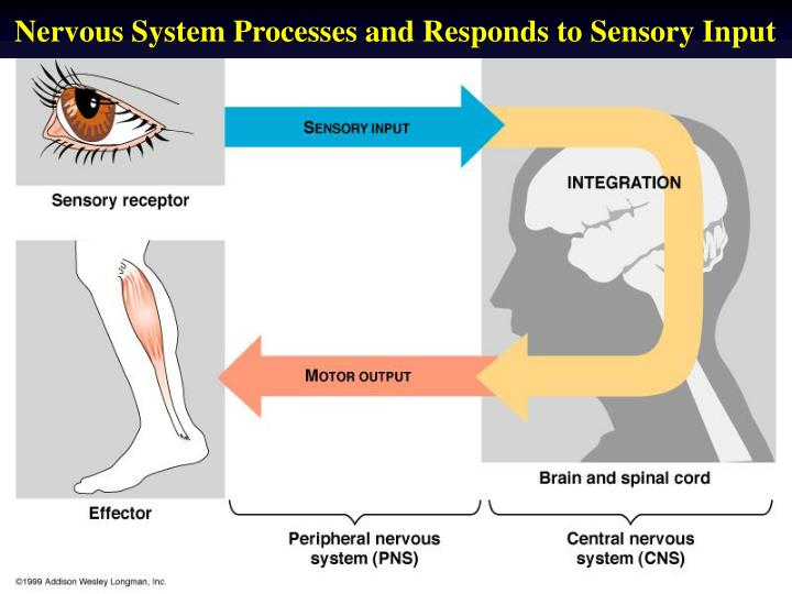 Nervous System Processes and Responds to Sensory Input