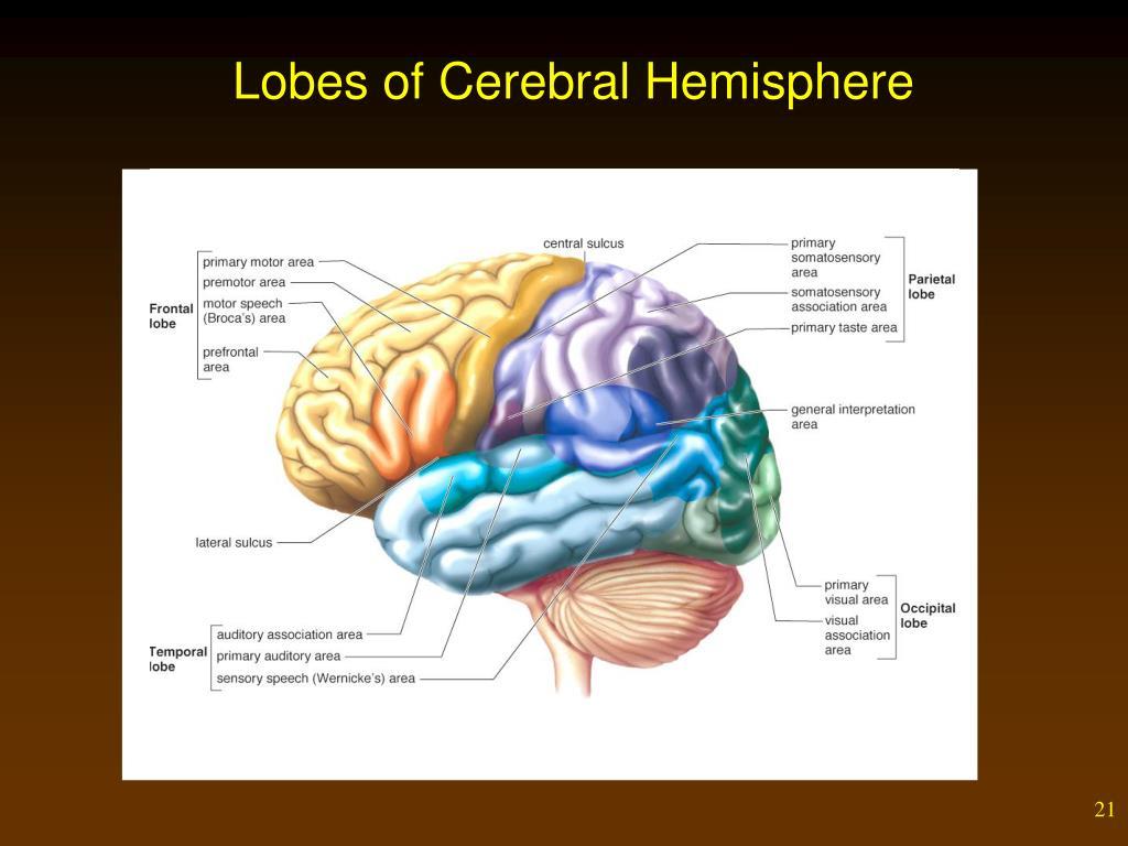 Lobes of Cerebral Hemisphere
