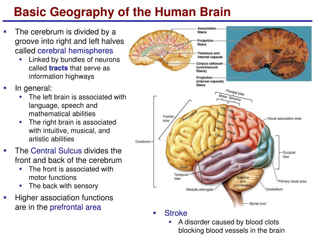 The cerebrum is divided by a groove into right and left halves called
