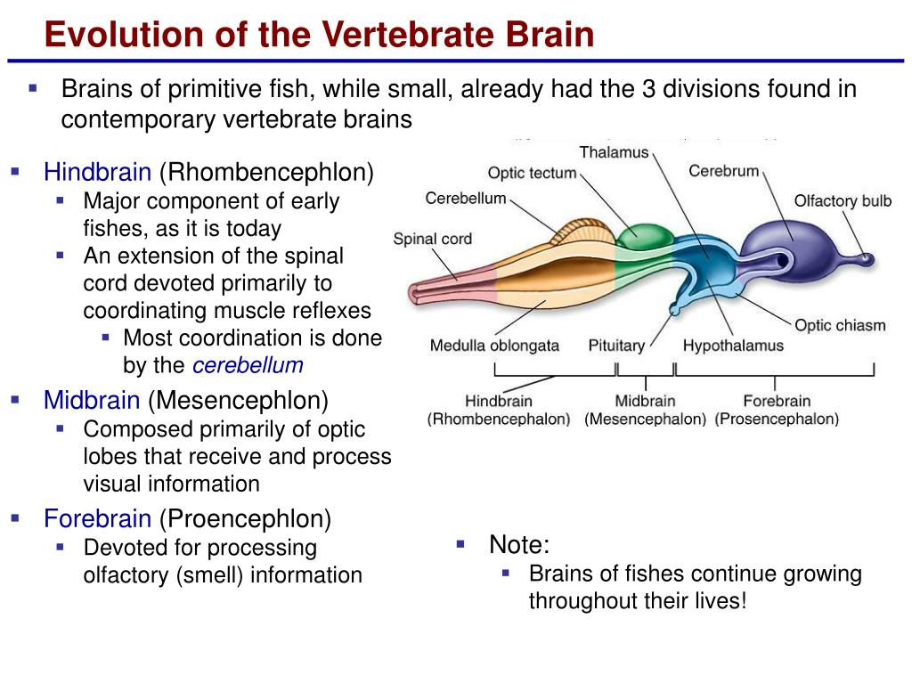 Evolution of the Vertebrate Brain