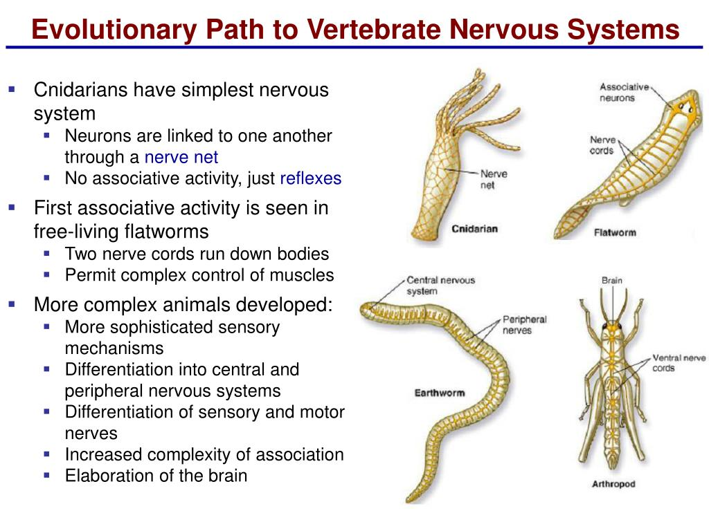Evolutionary Path to Vertebrate Nervous Systems