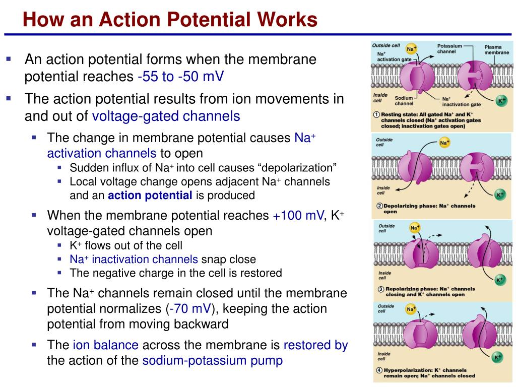 How an Action Potential Works