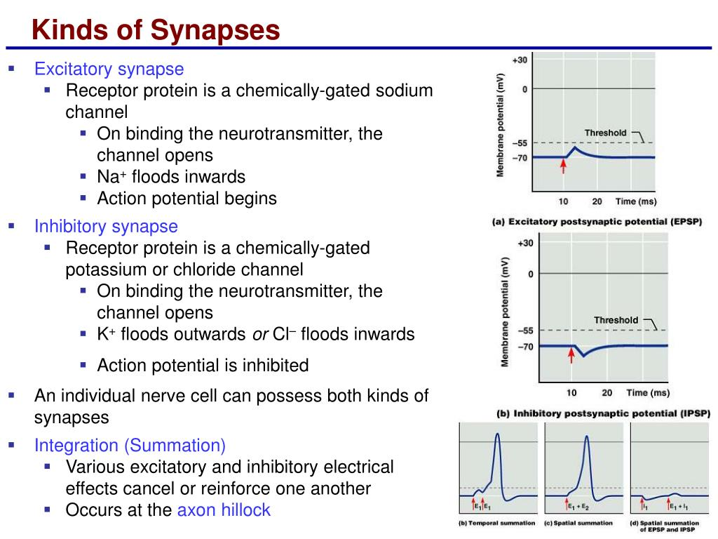 Kinds of Synapses