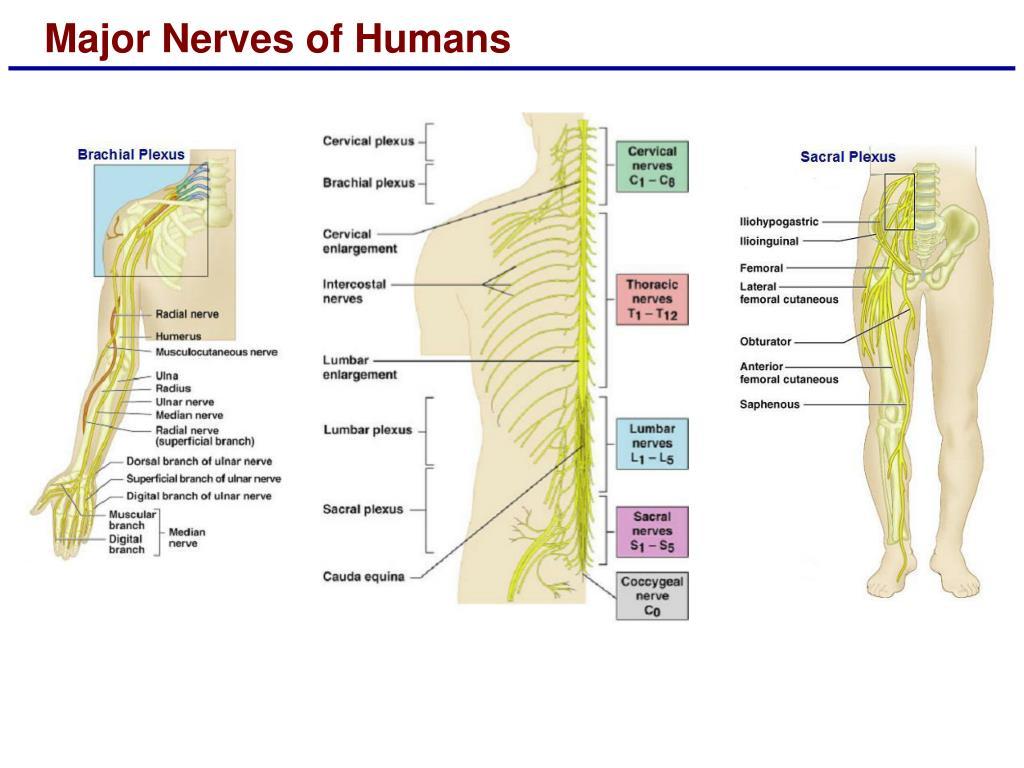 Major Nerves of Humans