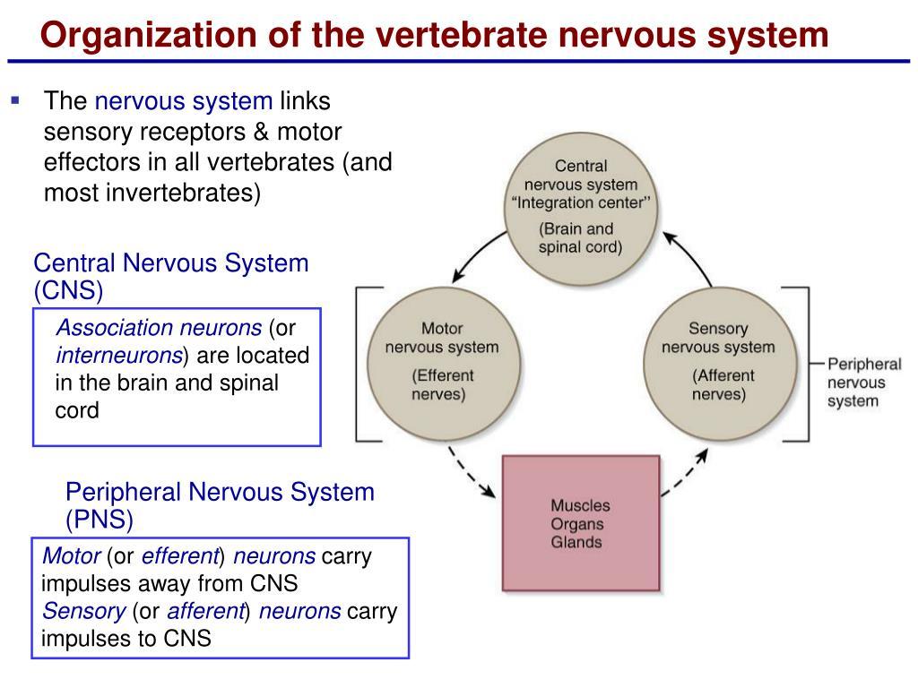 Organization of the vertebrate nervous system