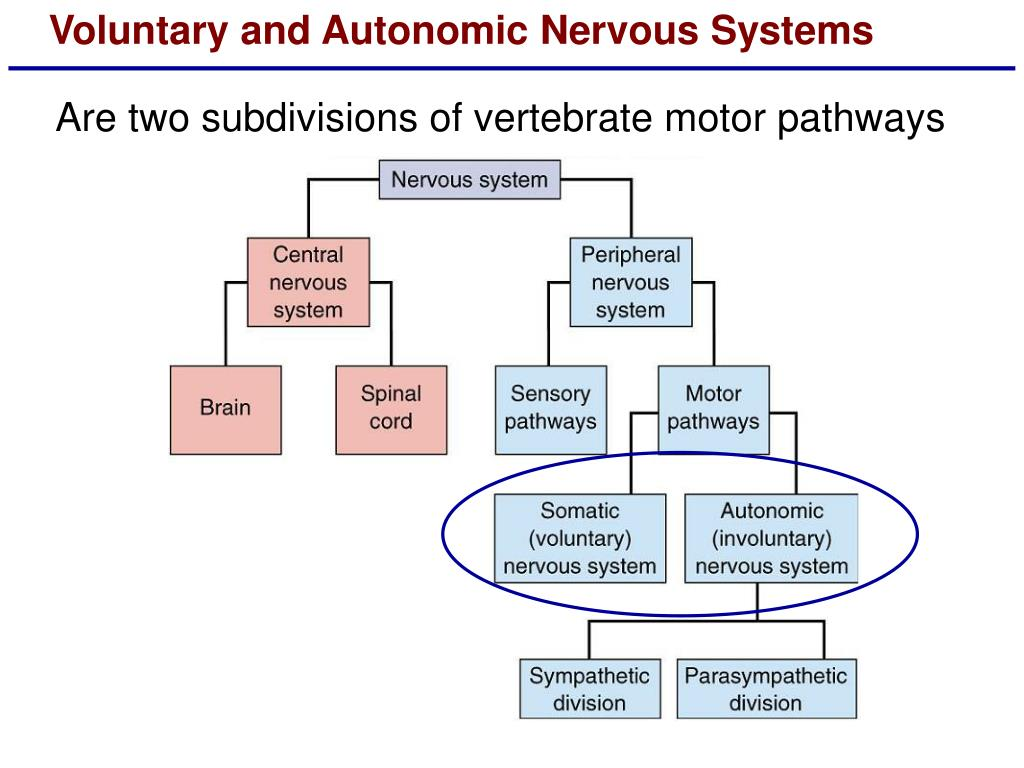 Voluntary and Autonomic Nervous Systems