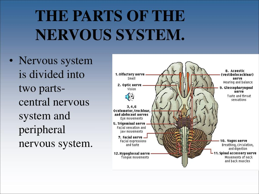 THE PARTS OF THE NERVOUS SYSTEM.