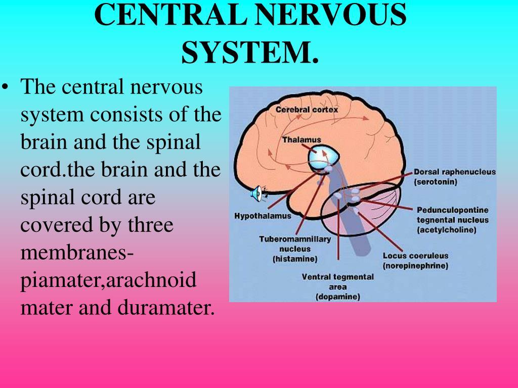 CENTRAL NERVOUS SYSTEM.