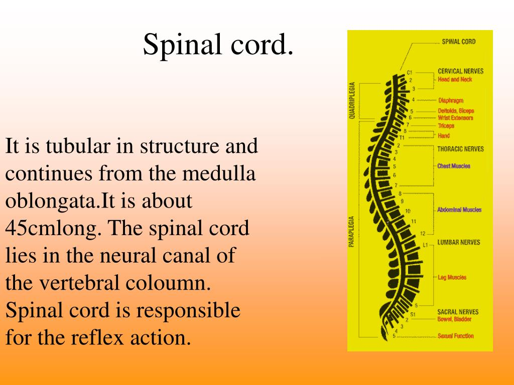 Spinal cord.