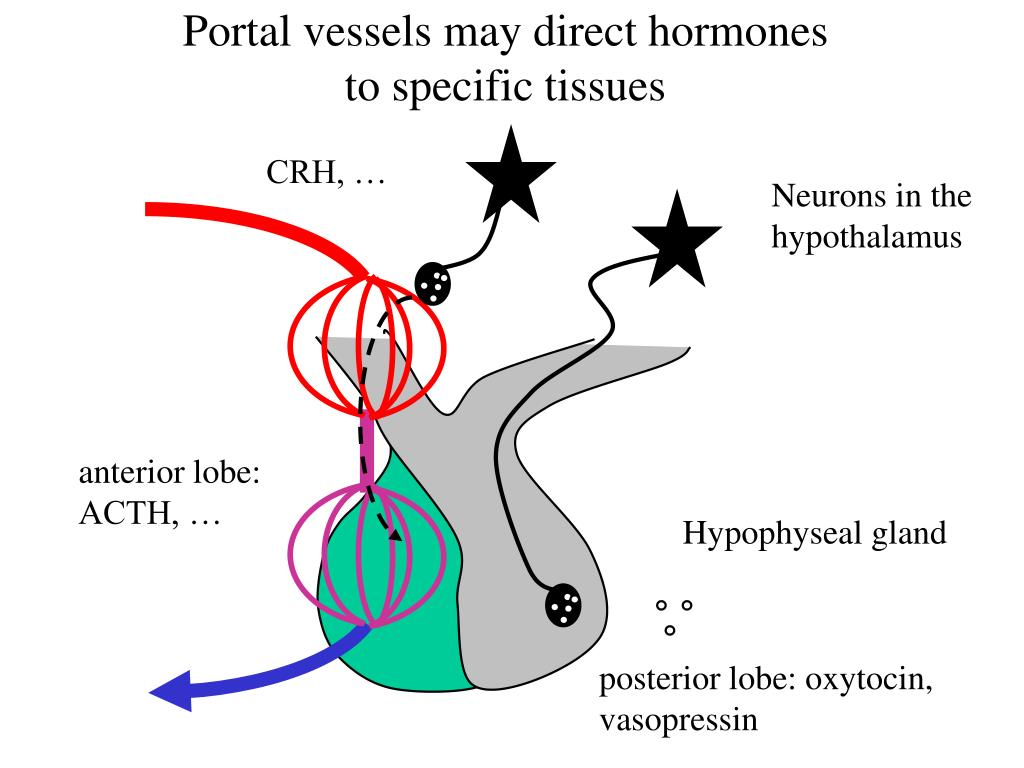 Portal vessels may direct hormones