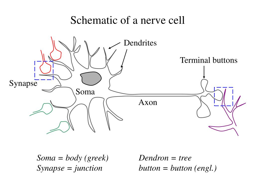 Schematic of a nerve cell