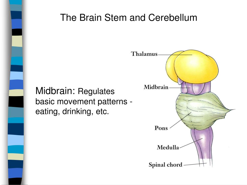 The Brain Stem and Cerebellum