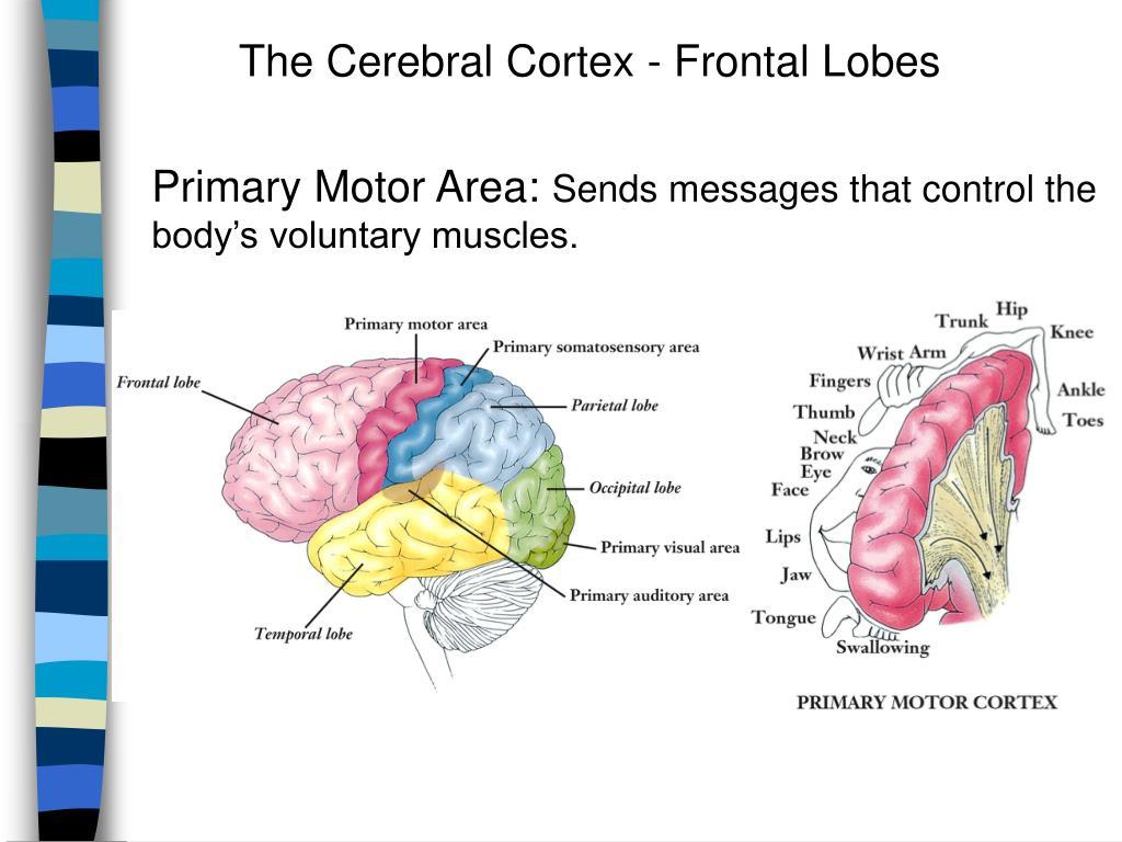 The Cerebral Cortex - Frontal Lobes
