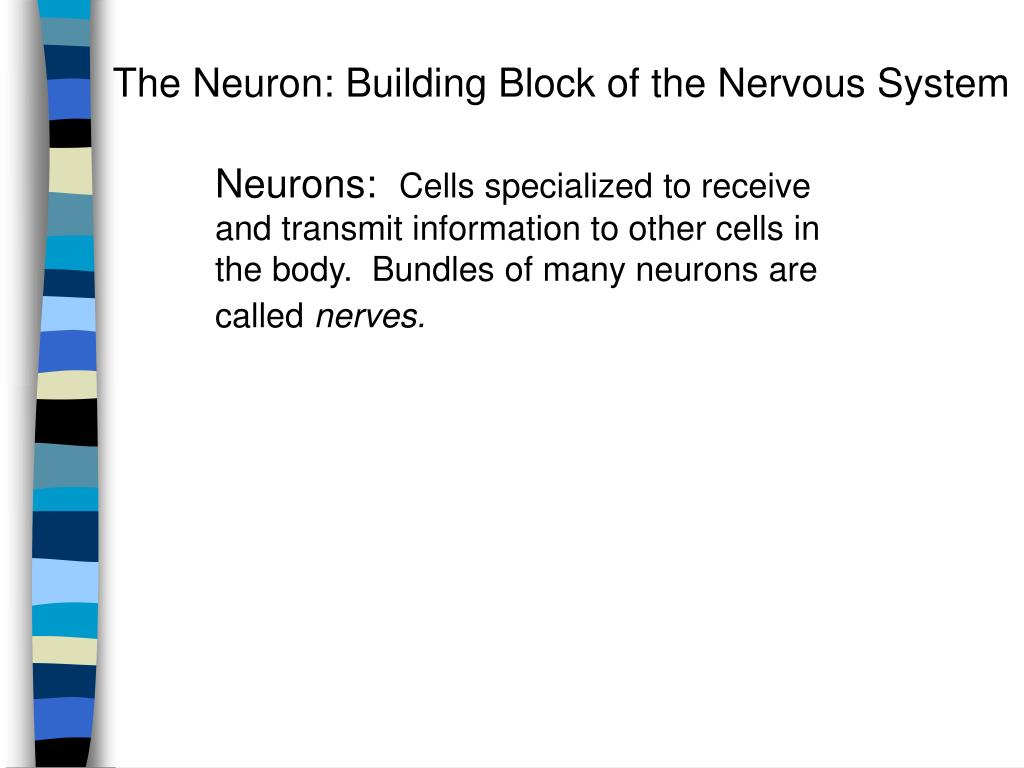 The Neuron: Building Block of the Nervous System