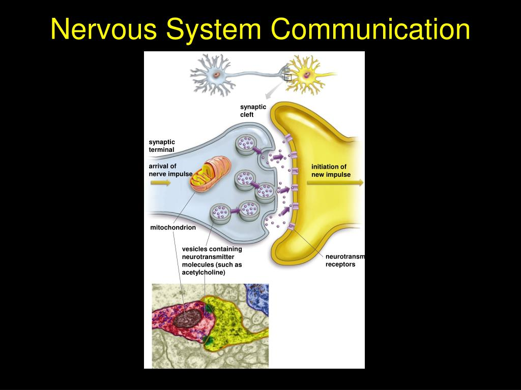 Nervous System Communication