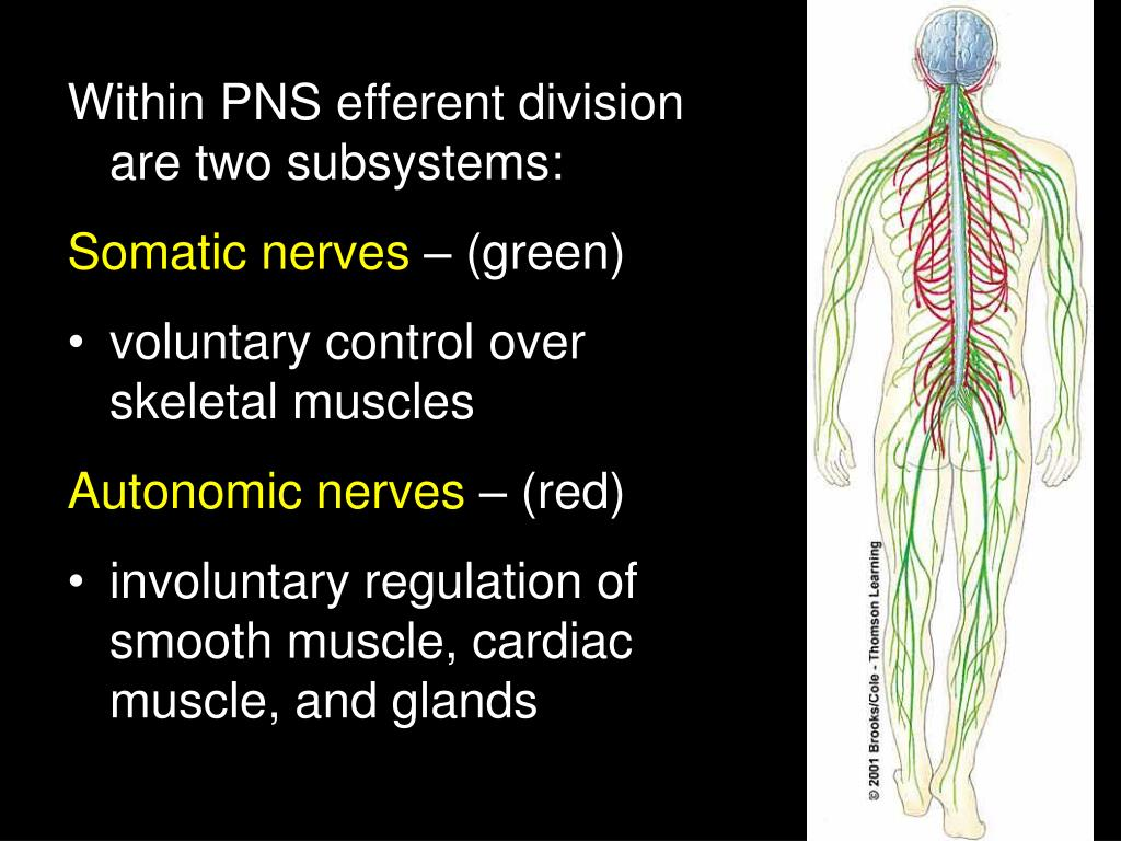 Within PNS efferent division are two subsystems: