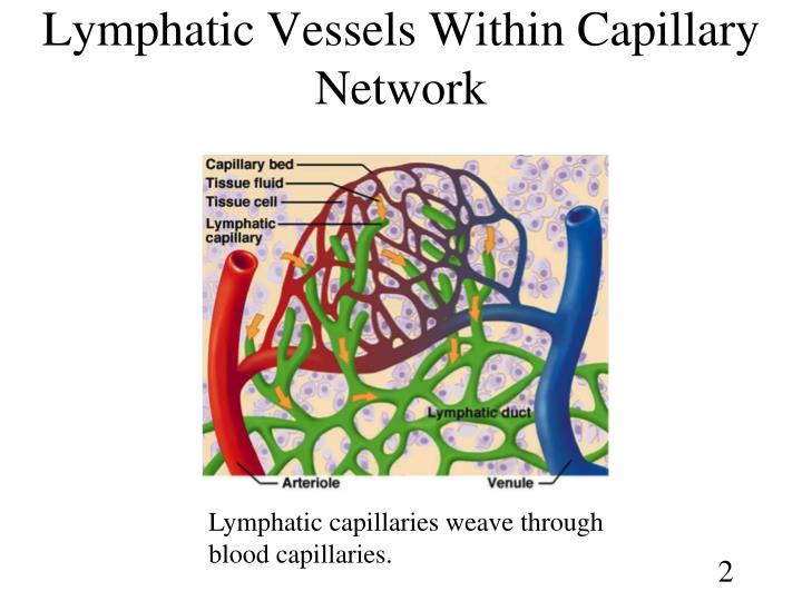 Lymphatic vessels within capillary network l.jpg