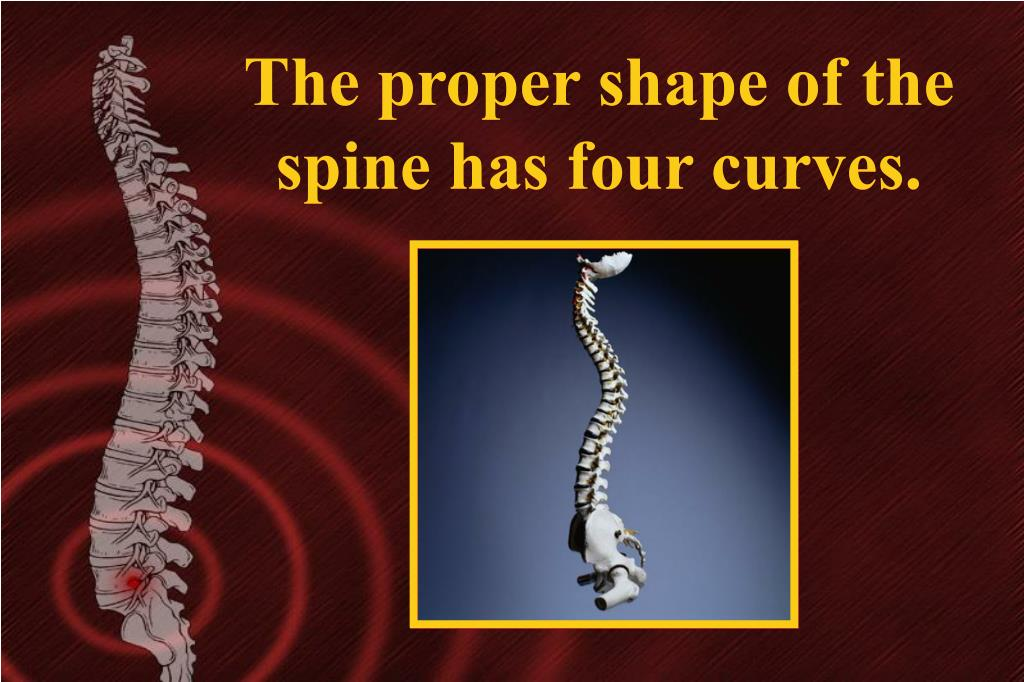 The proper shape of the spine has four curves.