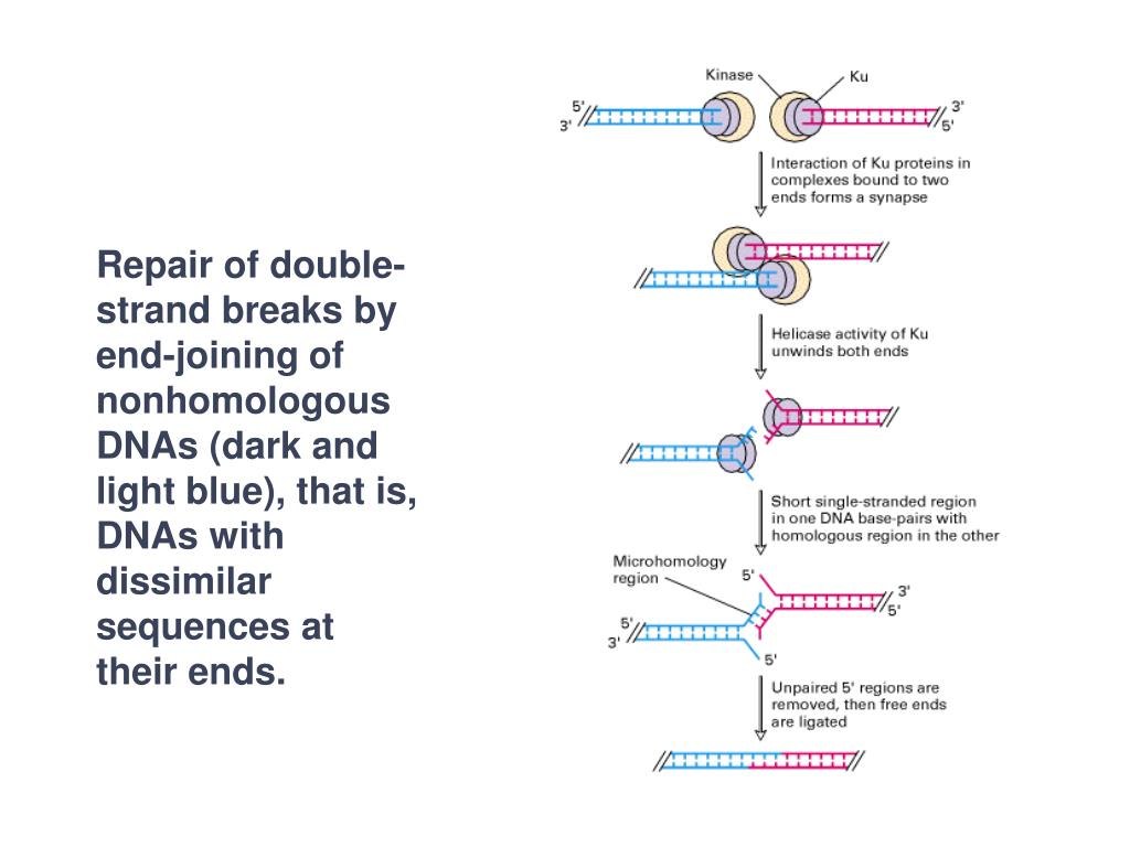 Repair of double-strand breaks by end-joining of nonhomologous DNAs (dark and light blue), that is, DNAs with dissimilar sequences at their ends.