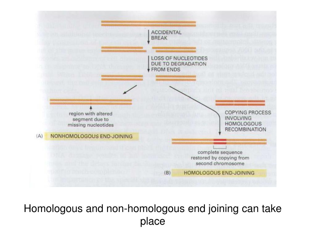 Homologous and non-homologous end joining can take place