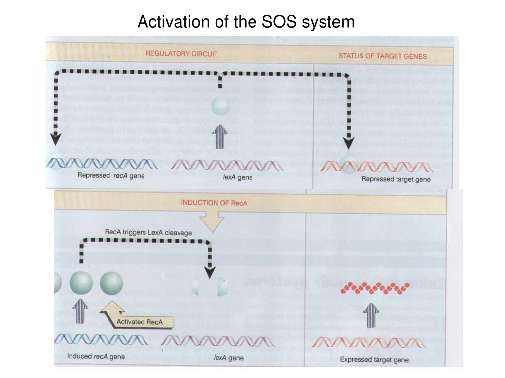 Activation of the SOS system