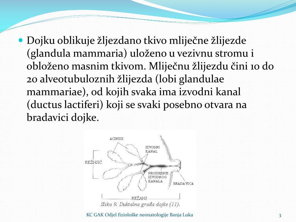 Dojku oblikuje žljezdano tkivo mliječne žlijezde (glandula mammaria) uloženo u vezivnu stromu i obloženo masnim tkivom. Mliječnu žlijezdu čini 10 do 20 alveotubuloznih žlijezda (lobi glandulae mammariae), od kojih svaka ima izvodni kanal (ductus lactiferi) koji se svaki posebno otvara na bradavici dojke