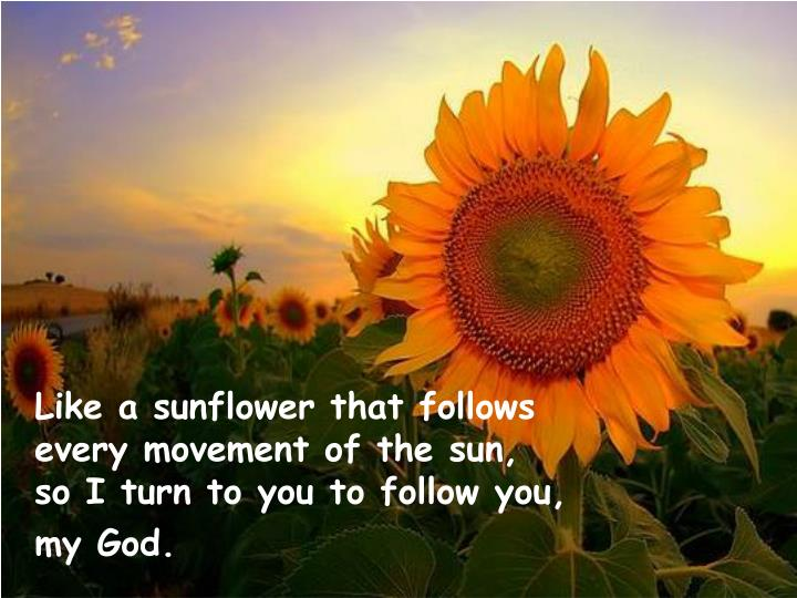 Like a sunflower that follows
