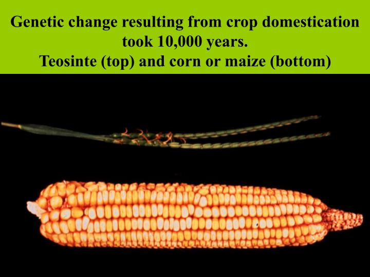 Genetic change resulting from crop domestication took 10,000 years.