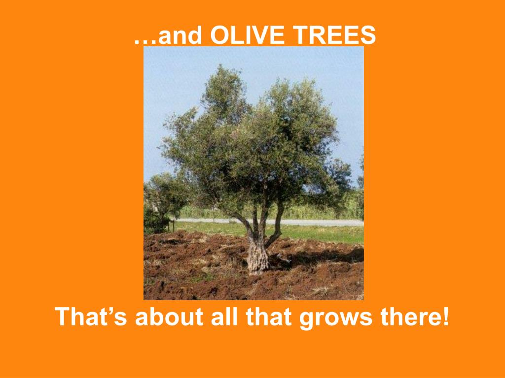 …and OLIVE TREES