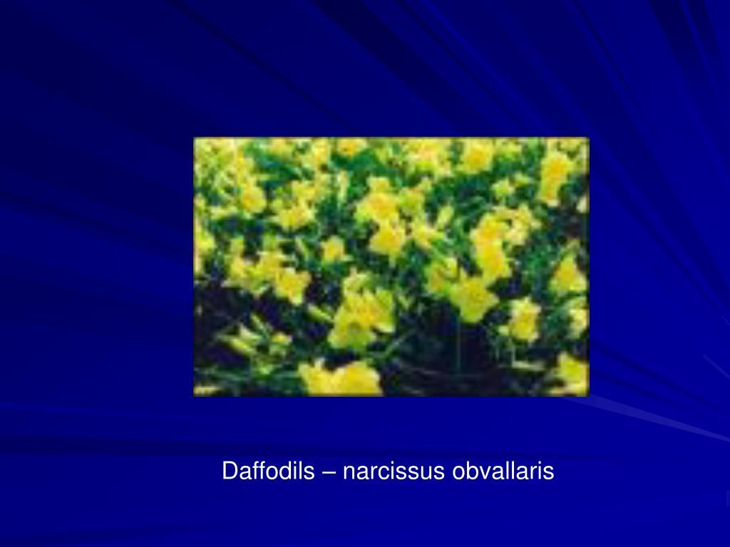 Daffodils – narcissus obvallaris