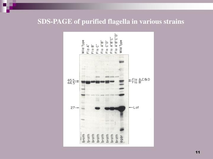 SDS-PAGE of purified flagella in various strains
