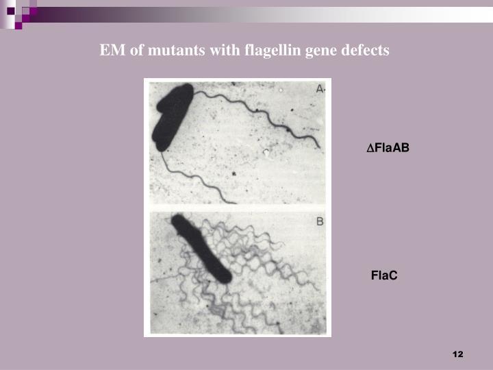 EM of mutants with flagellin gene defects