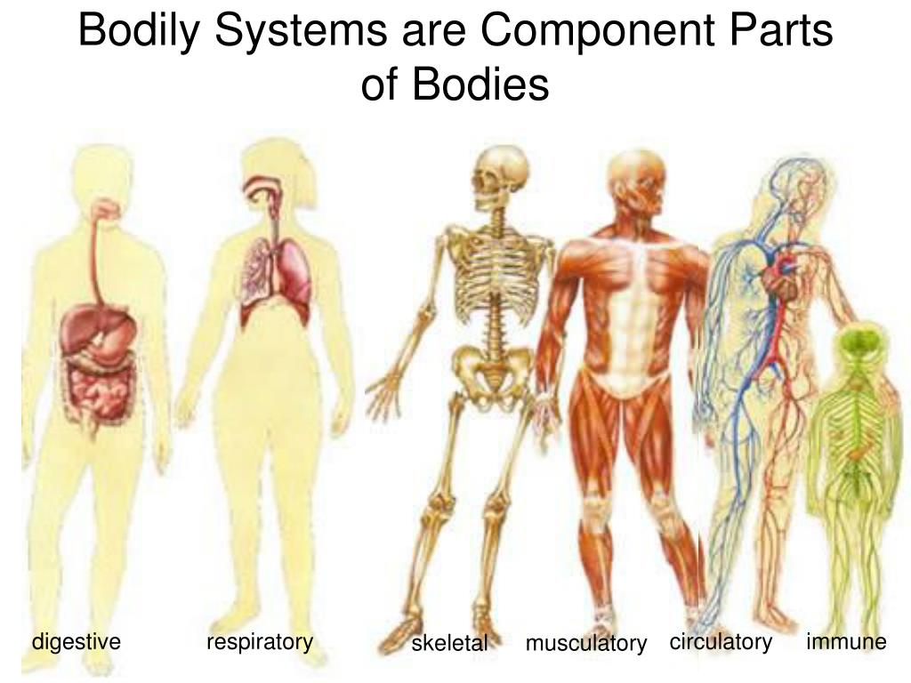 Bodily Systems are Component Parts of Bodies