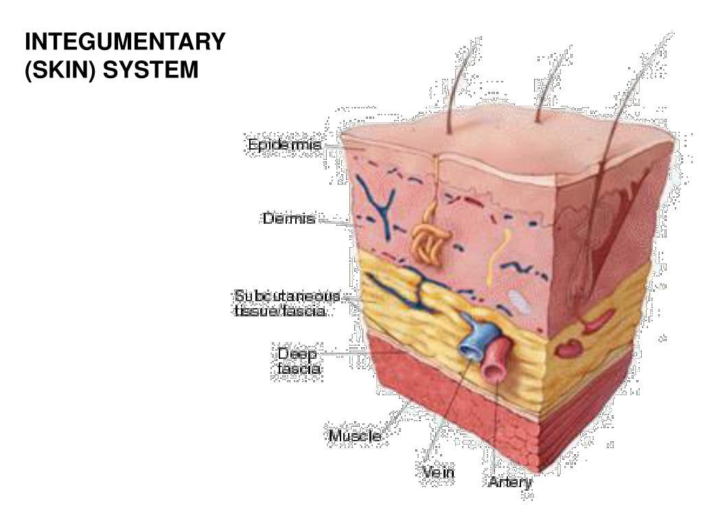 INTEGUMENTARY (SKIN) SYSTEM