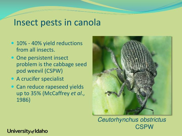 Insect pests in canola