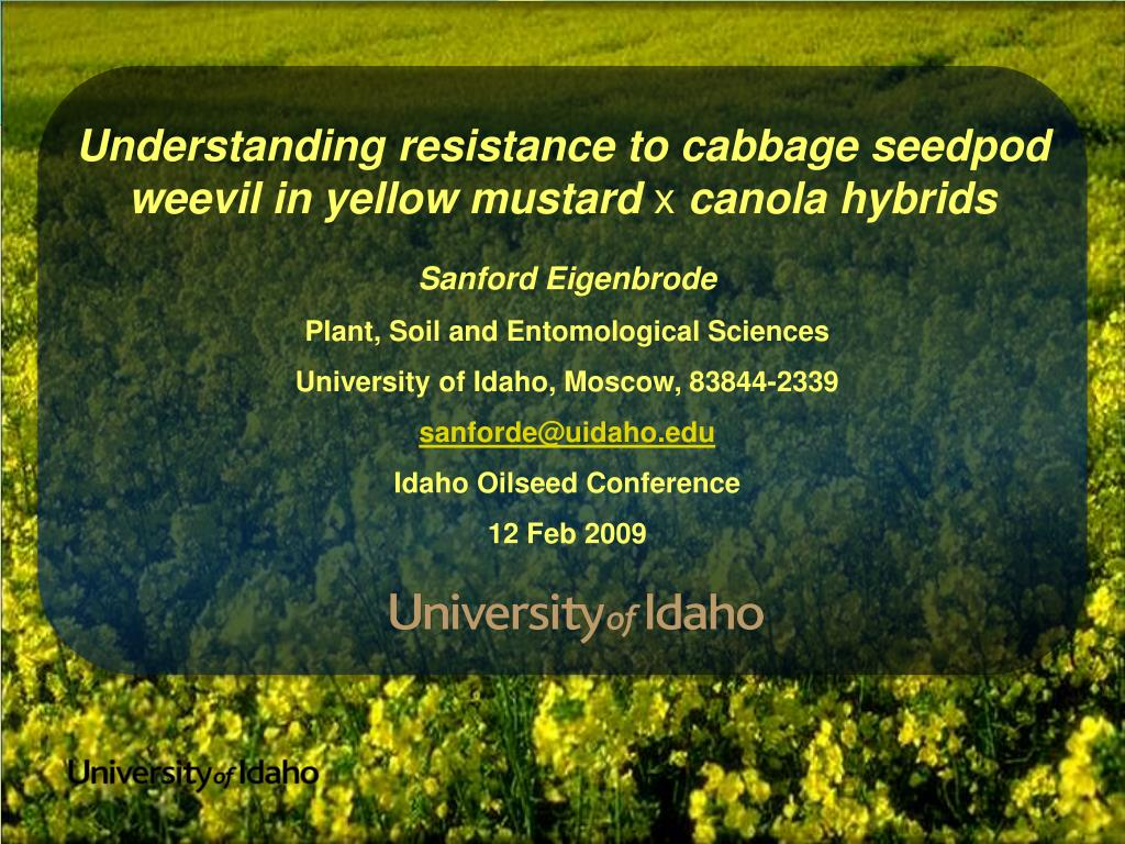 Understanding resistance to cabbage seedpod weevil in yellow mustard