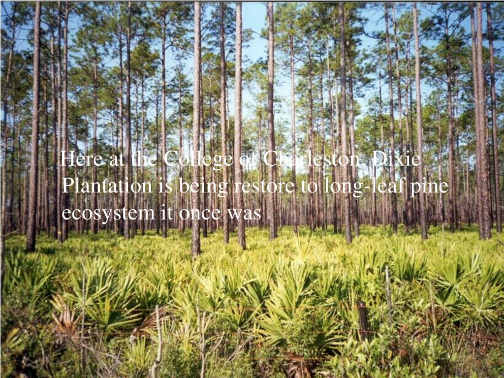 Here at the College of Charleston, Dixie Plantation is being restore to long-leaf pine ecosystem it once was