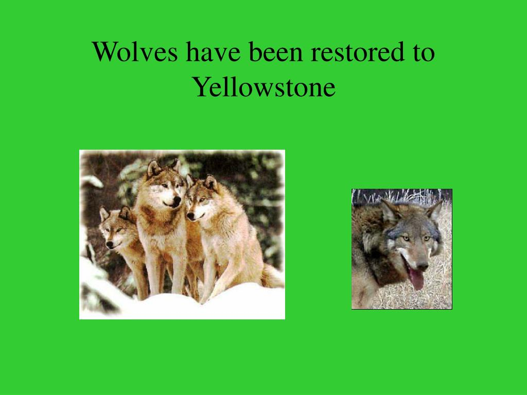 Wolves have been restored to Yellowstone