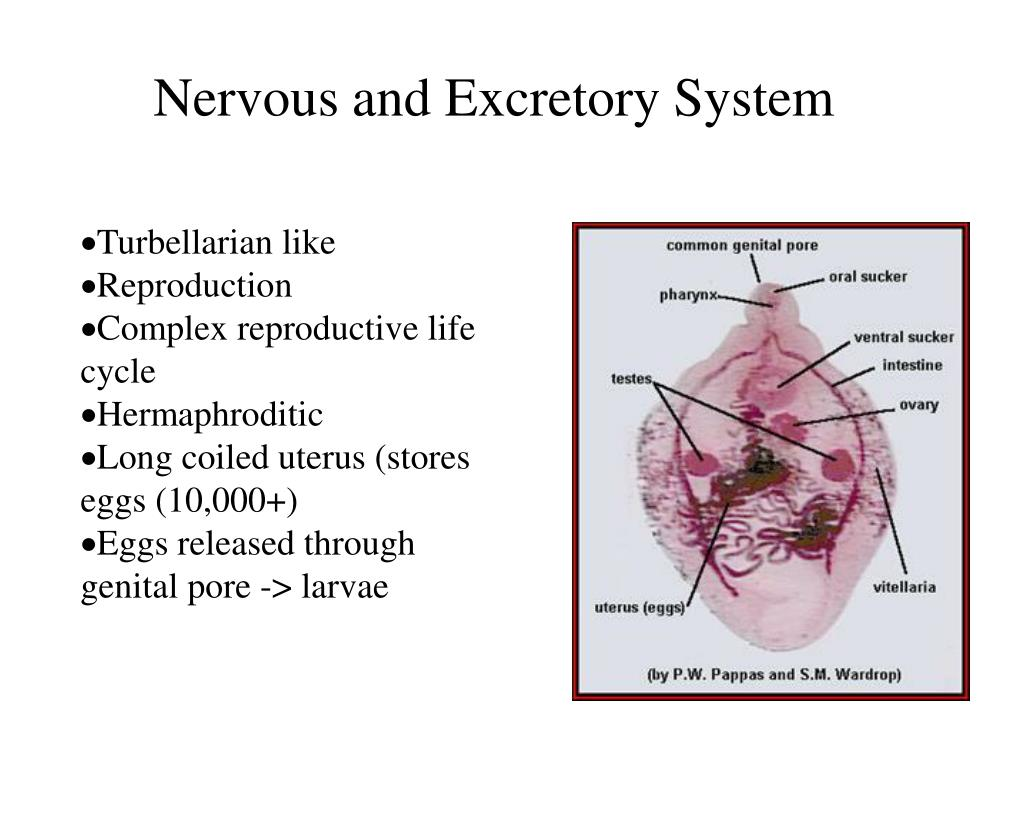 Nervous and Excretory System
