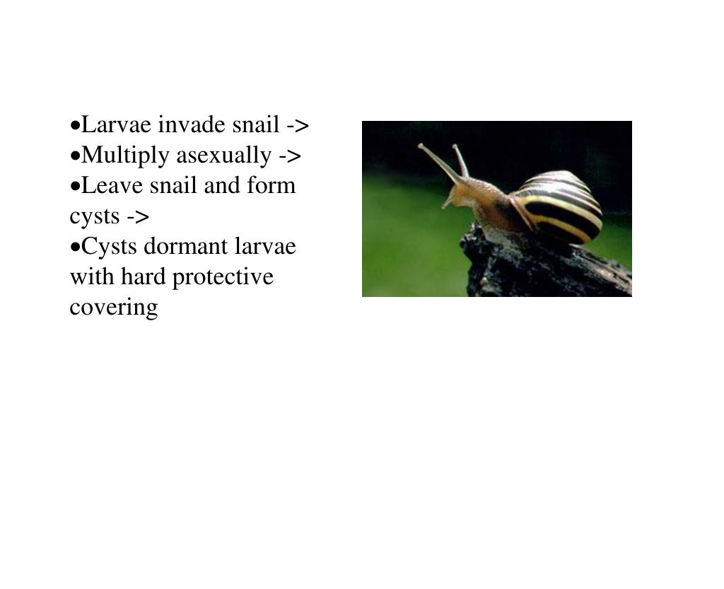 Larvae invade snail ->