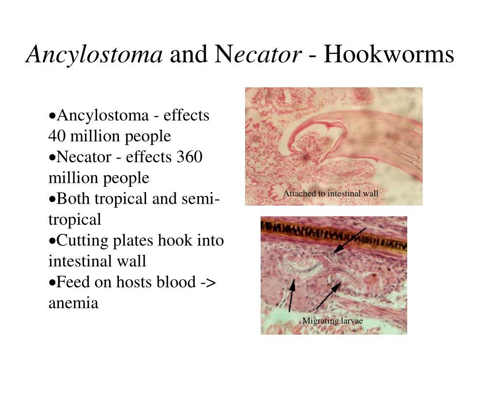 Ancylostoma