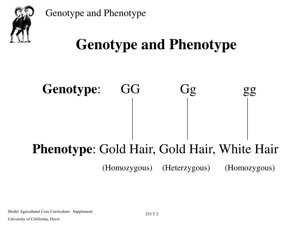 Genotype and phenotype practice worksheet